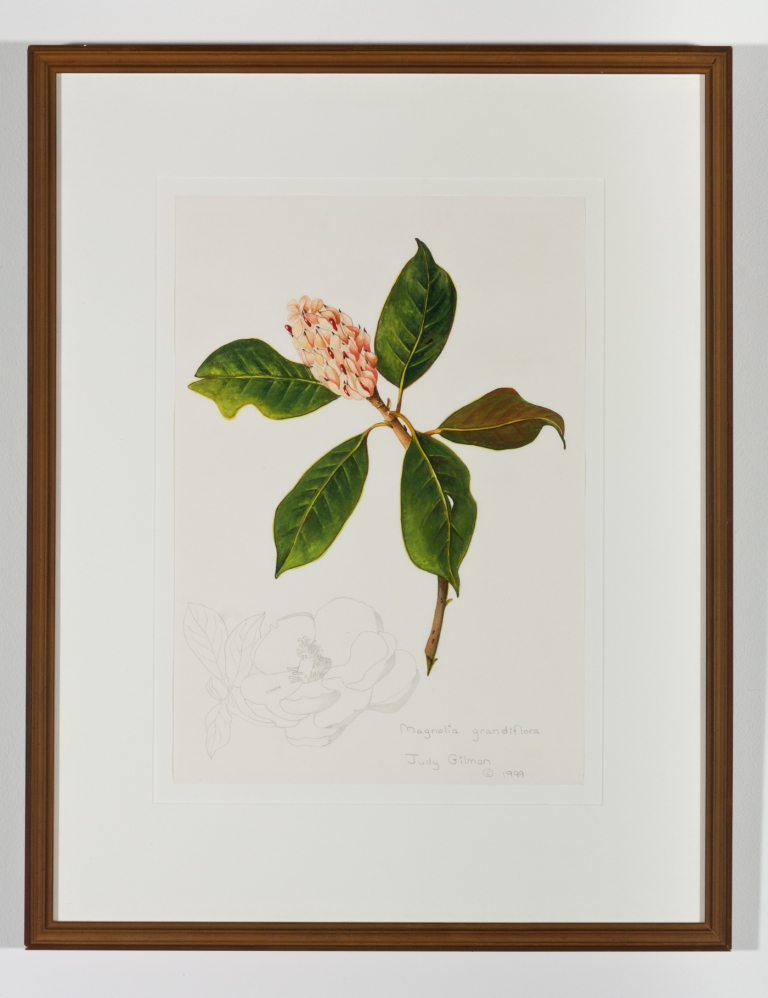 Judy Gilman, Magnolia grandiflora, 1999, gouache and graphite on paper, 16.375 x 11.5, collection of the Longwood Center for the Visual Arts, Virginia Artists Collection, Gift of the artist, 2012.13.5. Photography by Taylor Dabney.